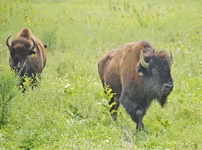 Photo courtesy of Eric Reiner/Metro Parks A male bison (right), newly introduced to the herd at Battelle Darby Creek Metro Park, walks ahead of one of the park's six female bison.